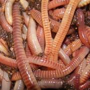 eudrilus eugeniae